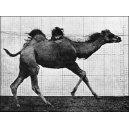 Flipbook Muybridge - Le chameau - photographie