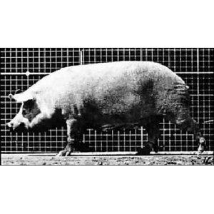 Flipbook : Le Cochon