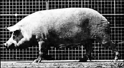 Sow walking - a flipbook by MUYBRIDGE