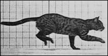 Le chat de Eadweard James MUYBRIDGE - photographie