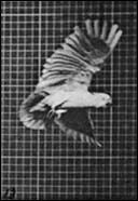 Cockatoo flying - a flipbook by MUYBRIDGE