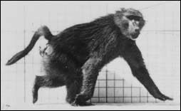 Baboon walking - a flipbook by MUYBRIDGE