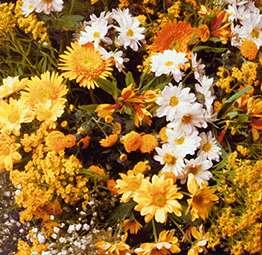 Fleurs jaunes - vue stéréoscopique