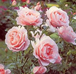 Des Roses roses - vue stéréoscopique