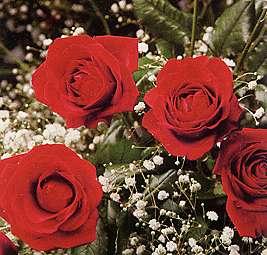 Des Roses rouges - vue stéréoscopique
