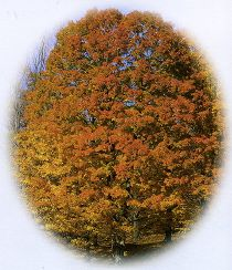 Mr HOUGHTON's TREE - Un flipbook américain - L'automne